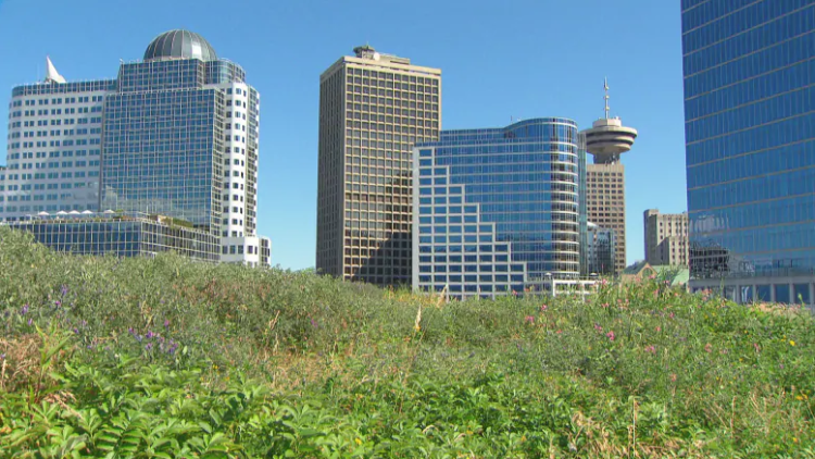 The green roof on top of the Vancouver Convention Centre is the largest of its kind in Canada